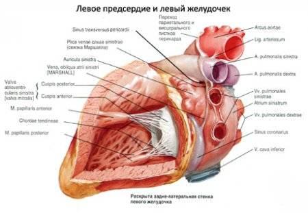 a szív határai magas vérnyomásban magas vérnyomás túlevés