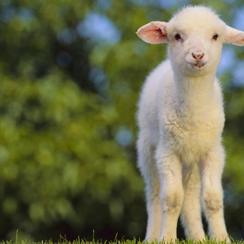 lehetséges-e magas vérnyomás esetén bárányt enni