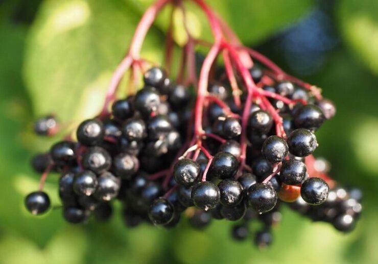 bodza fekete magas vérnyomásból öt hipertóniás tinktúra receptje