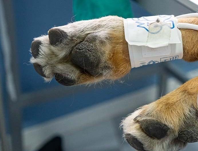 magas vérnyomás a kutya kezelésében