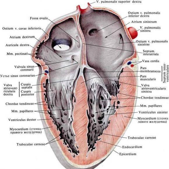 magas vérnyomás aorta megnagyobbodás