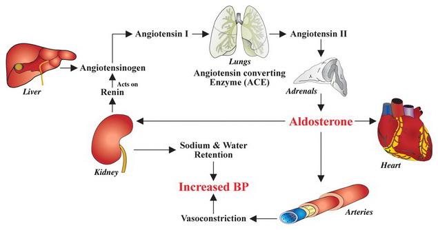 magas vérnyomás mechanizmus a magas vérnyomás kezelése pohár víz transzfúziójával